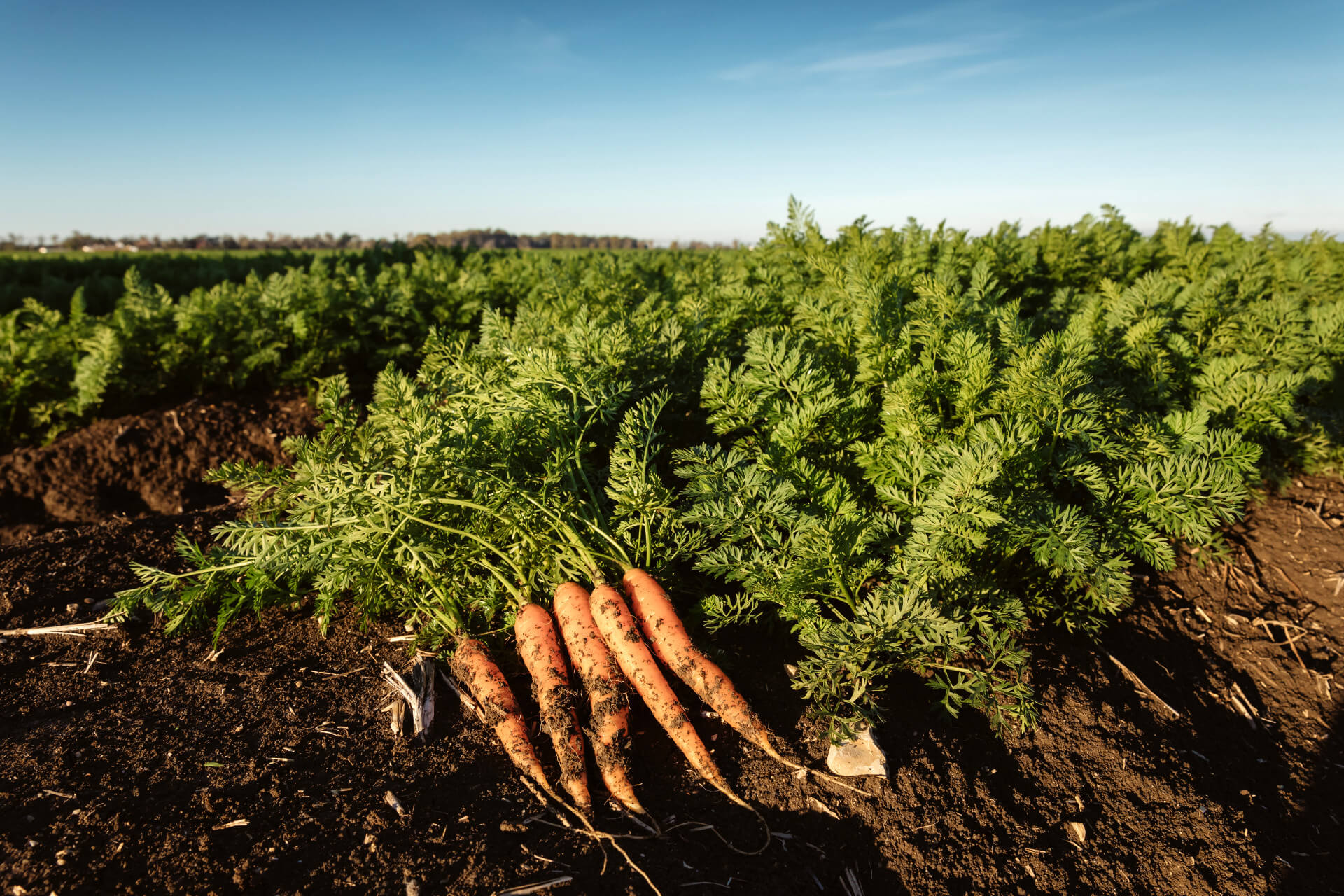 Carrot Field Spain Arcoval SL